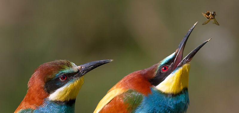 This image has an empty alt attribute; its file name is 800px-Pair_of_merops_apiaster_feeding_cropped.jpg